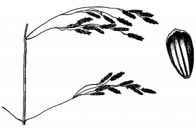 http://plants.usda.gov/java/largeImage?imageID=glot_001_ahd.tif