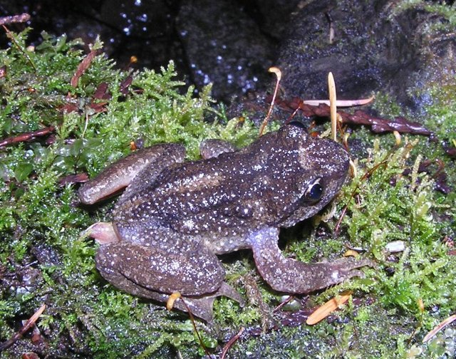 Inland Tailed Frog (Ascaphus montanus) - Photo Public Domain by Ryan Killackey, Idaho Fish and Game