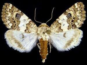 http://mothphotographersgroup.msstate.edu/species.php?hodges=11179