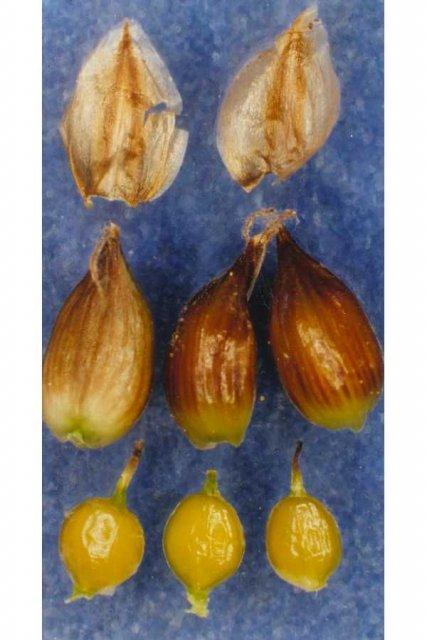 http://plants.usda.gov/gallery/large/cadig2_002_lvp.jpg