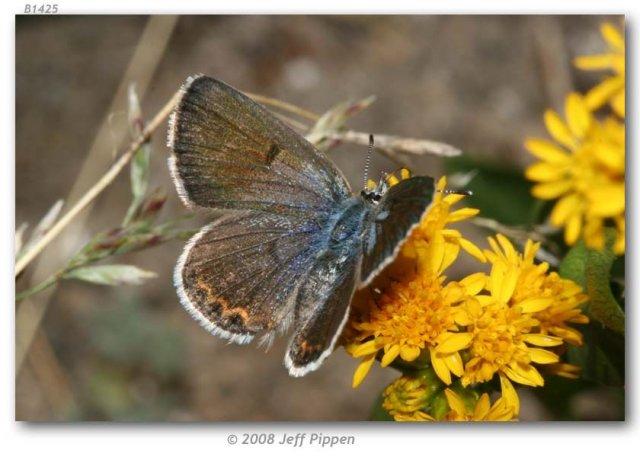 http://butterfliesofamerica.com/images/Theclinae/Polyommatinae/Plebejus_s_shasta/Plebeius_s_shasta_F_Saddlebag_Lake_Mono_Co_CA_17_July_2007_1.jpg