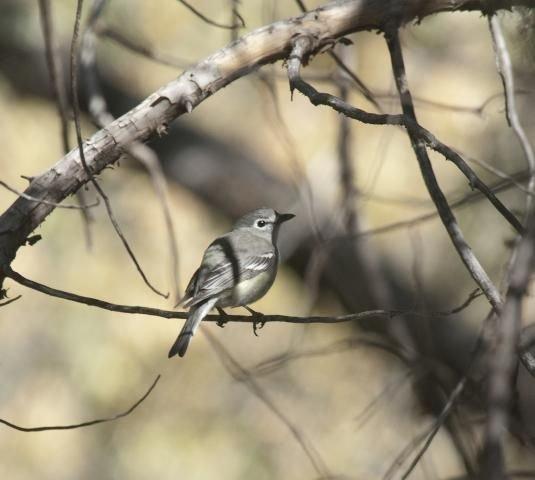 http://animaldiversity.ummz.umich.edu/site/resources/phil_myers/ADW_birds_3_4_03/vireo0326.jpg/medium.jpg