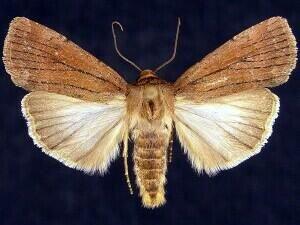 http://mothphotographersgroup.msstate.edu/species.php?hodges=10978