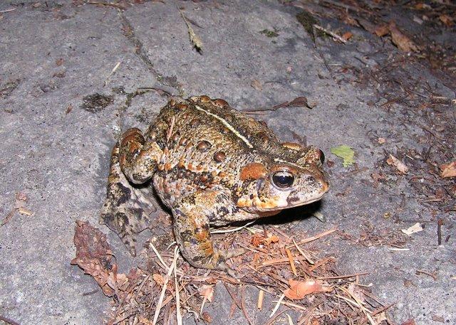 Western Toad (Bufo boreas) - Photo Public Domain by Ryan Killackey, Idaho Fish and Game