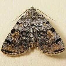 http://mothphotographersgroup.msstate.edu/species.php?hodges=8322