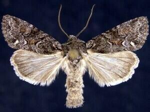 http://mothphotographersgroup.msstate.edu/species.php?hodges=10395
