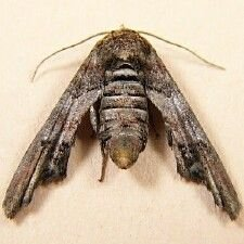 http://mothphotographersgroup.msstate.edu/species.php?hodges=8955
