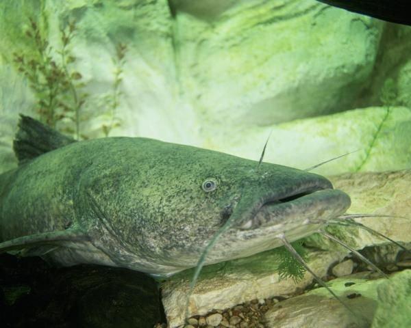 http://animaldiversity.ummz.umich.edu/site/resources/usfws/flatheadcatfish2.jpg/medium.jpg