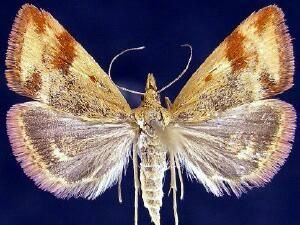 http://mothphotographersgroup.msstate.edu/species.php?hodges=5067