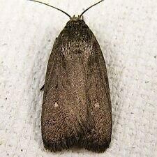 http://mothphotographersgroup.msstate.edu/species.php?hodges=9647