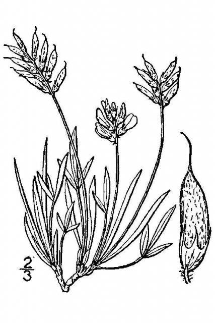 http://plants.usda.gov/java/largeImage?imageID=hoca7_001_avd.tif