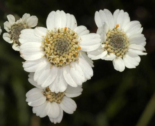 http://www.bioimages.org.uk/vfg/MWSt/NikonD100+T90/2005/05-08/05-08-20/05H20C_4.jpg