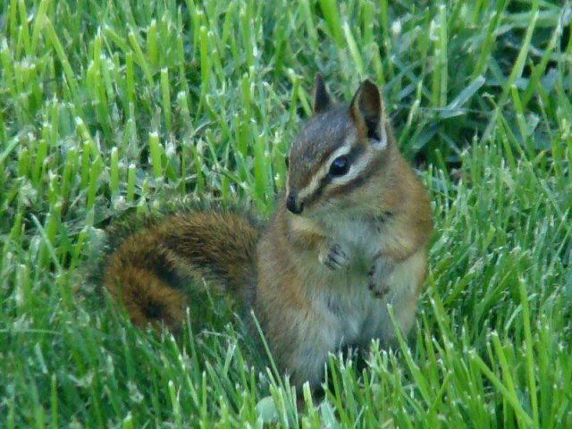 http://commons.wikimedia.org/wiki/File:Red-tailed_Chipmunk_(Tamias_ruficaudus).jpg