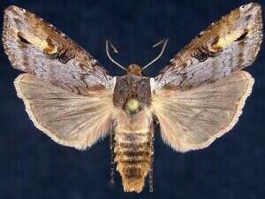 http://mothphotographersgroup.msstate.edu/species.php?hodges=9875