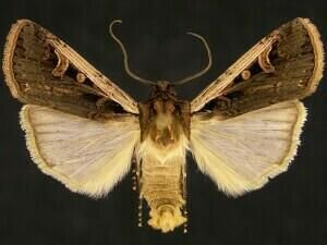 http://mothphotographersgroup.msstate.edu/species.php?hodges=10878