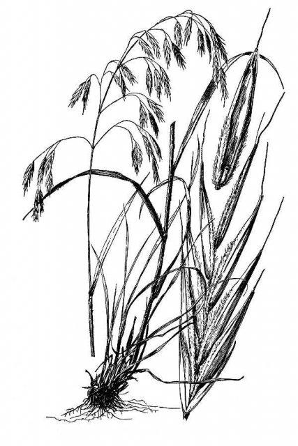 http://plants.usda.gov/java/largeImage?imageID=brci2_002_avd.tif