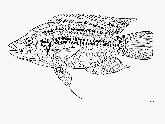 http://www.fishbase.us/images/species/Orkor_u0.gif