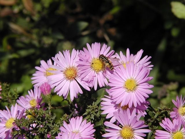 http://www.biopix.com/michaelmas-daisy-aster-novi-belgii_photo-39573.aspx