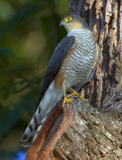 http://commons.wikimedia.org/wiki/File:Accipiter_erythronemius_Horto_Florestal_de_Sao_Paulo,_Brazil_2-crop.jpg