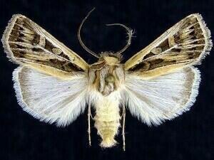 http://mothphotographersgroup.msstate.edu/species.php?hodges=10830