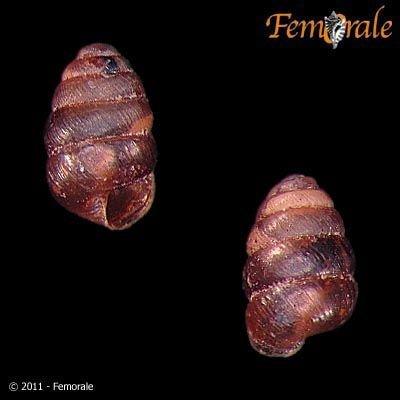 http://www.femorale.com/shellphotos/detail.asp?species=Columella%20edentula%20(Draparnaud,%201805)