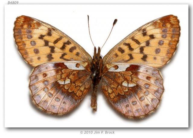 http://butterfliesofamerica.com/images/Nymphalidae/Argynnini/Boloria_frigga_gibsoni/Boloria_frigga_gibsoni_Glenn_Hwy_120_mi_from_Anchorage_AK_USA_02-VII-72_6.jpg