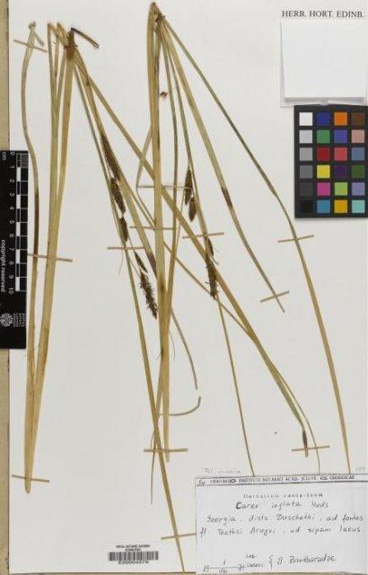 http://elmer.rbge.org.uk/bgbase/vherb/bgbasevherb.php?cfg=bgbase/vherb/bgbasevherb.cfg&specimens_barcode=E00004379
