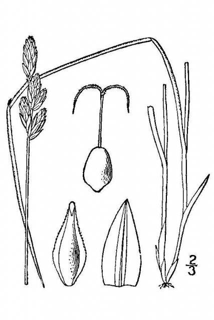 http://plants.usda.gov/java/largeImage?imageID=caxe_001_avd.tif