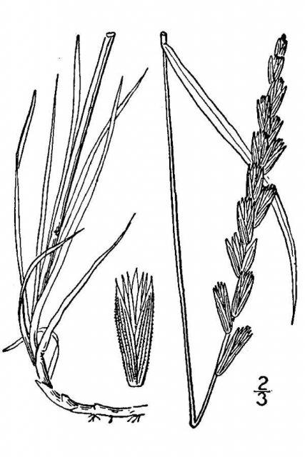http://plants.usda.gov/java/largeImage?imageID=agps_001_avd.tif