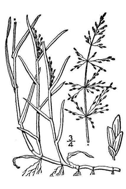 http://plants.usda.gov/java/largeImage?imageID=caaq3_001_avd.tif