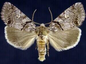 http://mothphotographersgroup.msstate.edu/species.php?hodges=9814