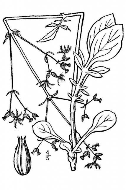 http://plants.usda.gov/java/largeImage?imageID=vase2_001_avd.tif