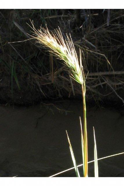 http://plants.usda.gov/gallery/large/elca4_008_lvp.jpg