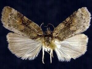 http://mothphotographersgroup.msstate.edu/species.php?hodges=8977