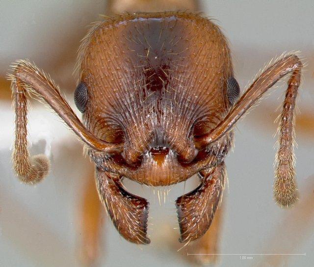 http://www.antweb.org/description.do?genus=manica&name=hunteri&rank=species