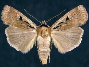 http://mothphotographersgroup.msstate.edu/species.php?hodges=11047.1