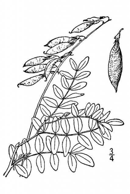 http://plants.usda.gov/java/largeImage?imageID=asbl4_001_avd.tif