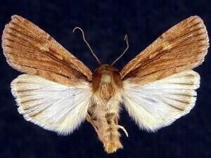 http://mothphotographersgroup.msstate.edu/species.php?hodges=10978.1