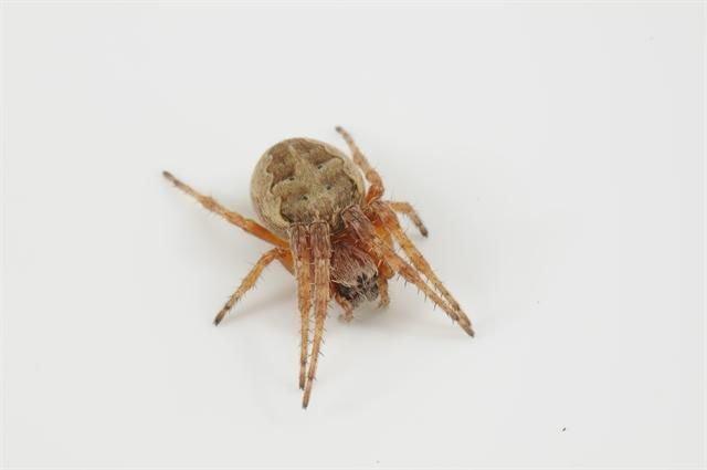 http://www.biopix.com/larinioides-patagiatus_photo-97209.aspx