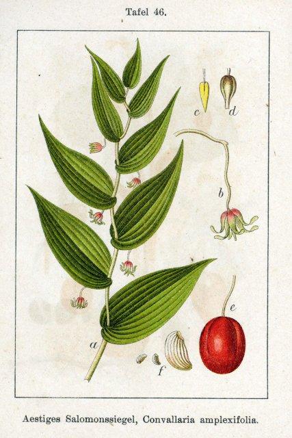 http://commons.wikimedia.org/wiki/File:Streptopus_amplexifolius_Sturm46.jpg