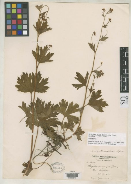 http://collections.mnh.si.edu/services/media.php?env=botany&irn=10089915
