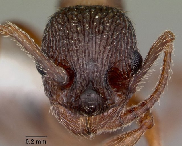http://www.antweb.org/description.do?genus=myrmica&name=monticola&rank=species