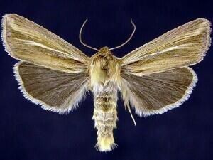 http://mothphotographersgroup.msstate.edu/species.php?hodges=10432