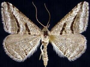 http://mothphotographersgroup.msstate.edu/species.php?hodges=6370