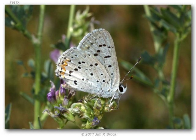 http://butterfliesofamerica.com/images/Theclinae/Lycaeninae/lycaena_dione/Lycaena_dione_USA_WYOMING_Hot_Springs_Co._Hwy_20_Wind_River_Canyon_24-VII-2011_BROCK_2.JPG
