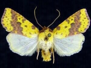 http://mothphotographersgroup.msstate.edu/species.php?hodges=9965