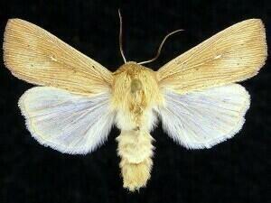 http://mothphotographersgroup.msstate.edu/species.php?hodges=10441