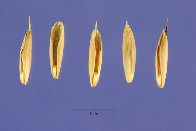 http://plants.usda.gov/gallery/large/brse_003_lhp.jpg