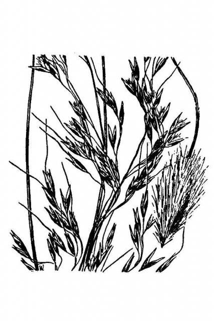 http://plants.usda.gov/java/largeImage?imageID=orbl_001_avd.tif