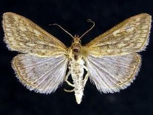 http://mothphotographersgroup.msstate.edu/species.php?hodges=4987